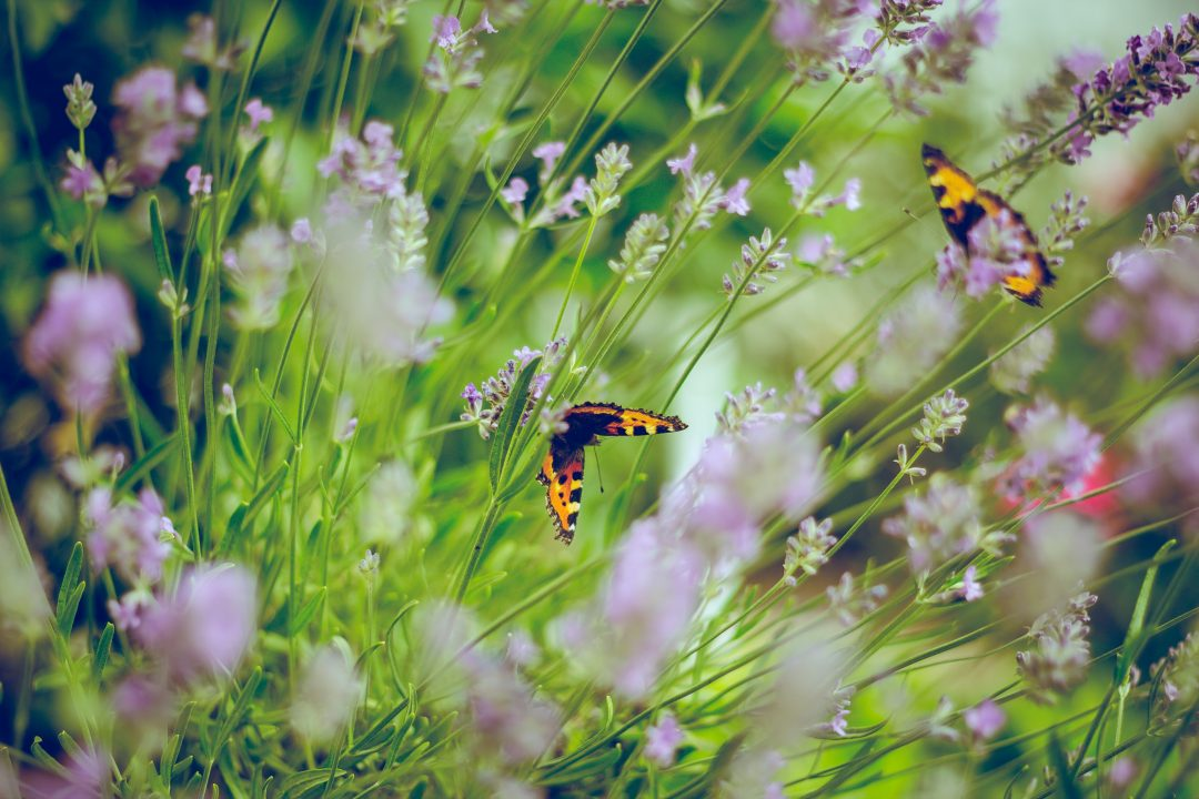 A garden of flowers and butterflies.