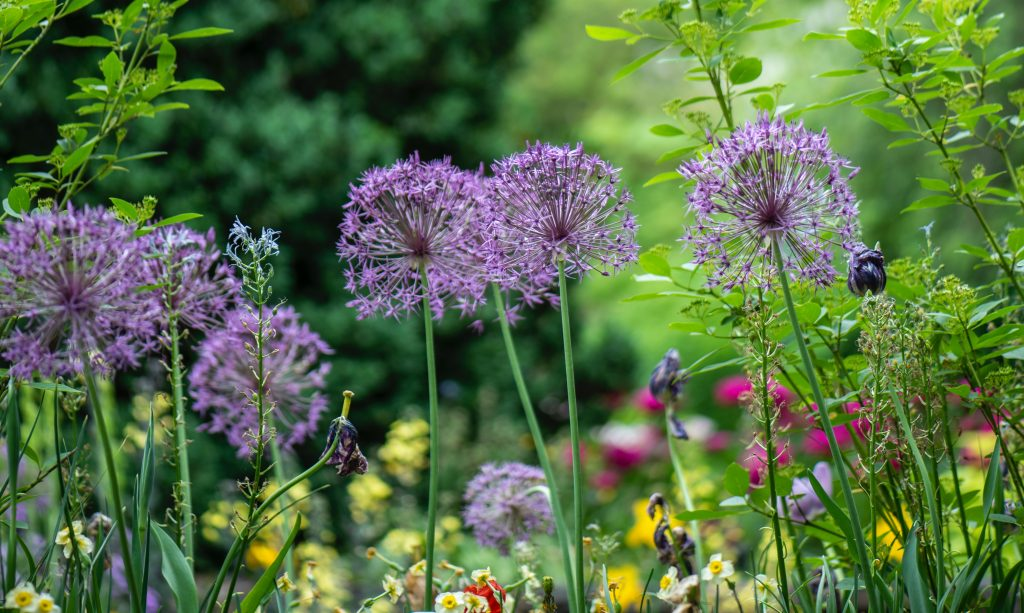 A row of purple flowers in a green garden