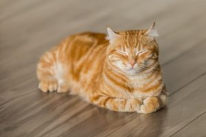 An example picture of an orange tabby cat